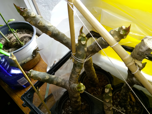 Ma récolte de bouture de frangipanier du mois d'Aout de Thailande... Img_0411