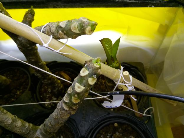 Ma récolte de bouture de frangipanier du mois d'Aout de Thailande... Img_0511