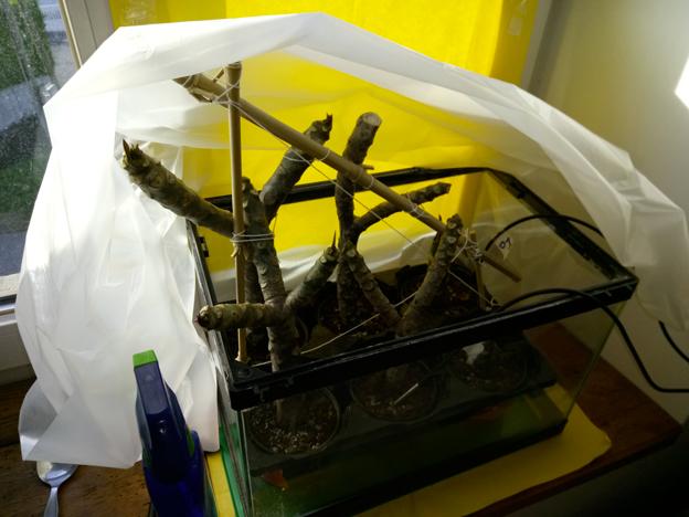 Ma récolte de bouture de frangipanier du mois d'Aout de Thailande... Img_0611