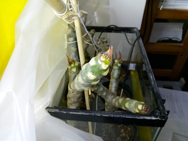 Ma récolte de bouture de frangipanier du mois d'Aout de Thailande... Img_0811