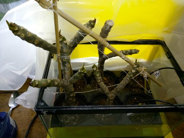 Ma récolte de bouture de frangipanier du mois d'Aout de Thailande... Img_1011
