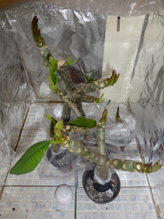 Ma récolte de bouture de frangipanier du mois d'Aout de Thailande... P1020810