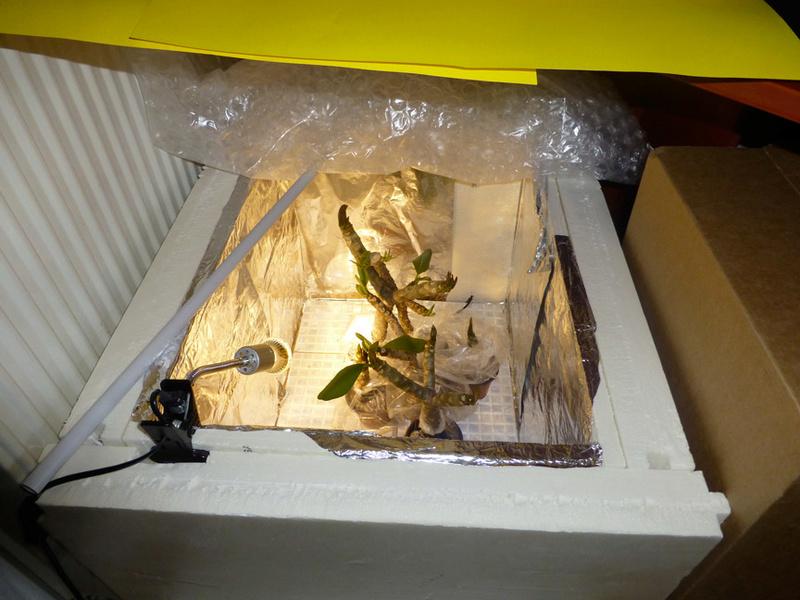 Ma récolte de bouture de frangipanier du mois d'Aout de Thailande... P1020811