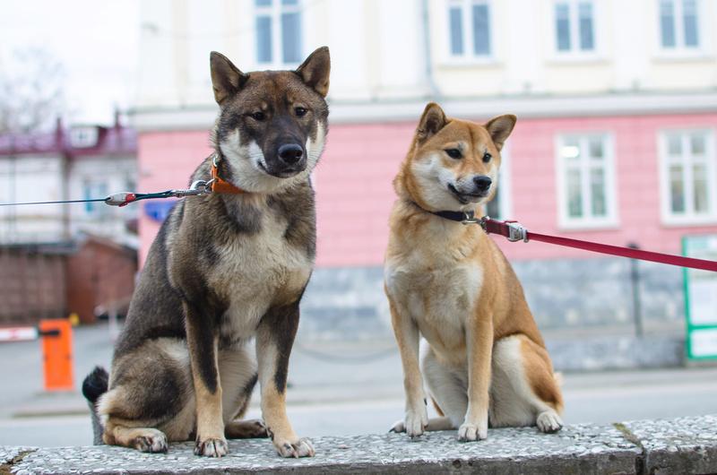 Хочу купить щенка СИКОКУ Untitl13