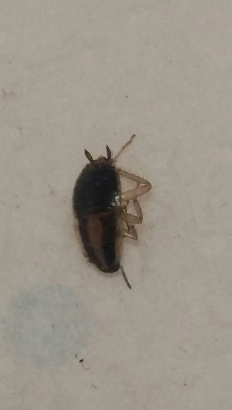 [Blattella germanica] Identification blatte 20171010