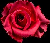 [Courrier soigneusement calligraphié, scellé du sceau de la Maison Whitestag]  Rose-110