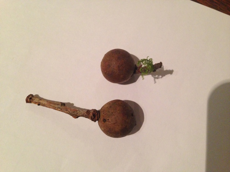 identification feuillu (galle du chêne; Andricus kollari) Img_0010