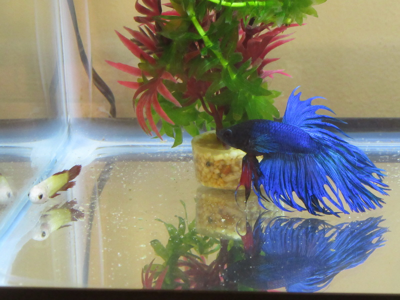 Betta Fish! 7_5_2010