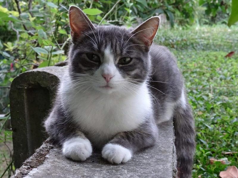 perdu jeune chatte à Issoire  Nutell10