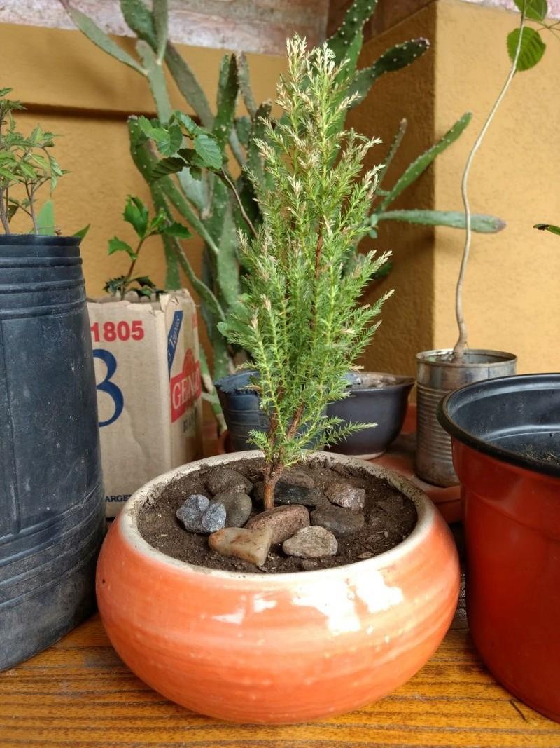 Problema Prebonsai pino Lemon Img-2012