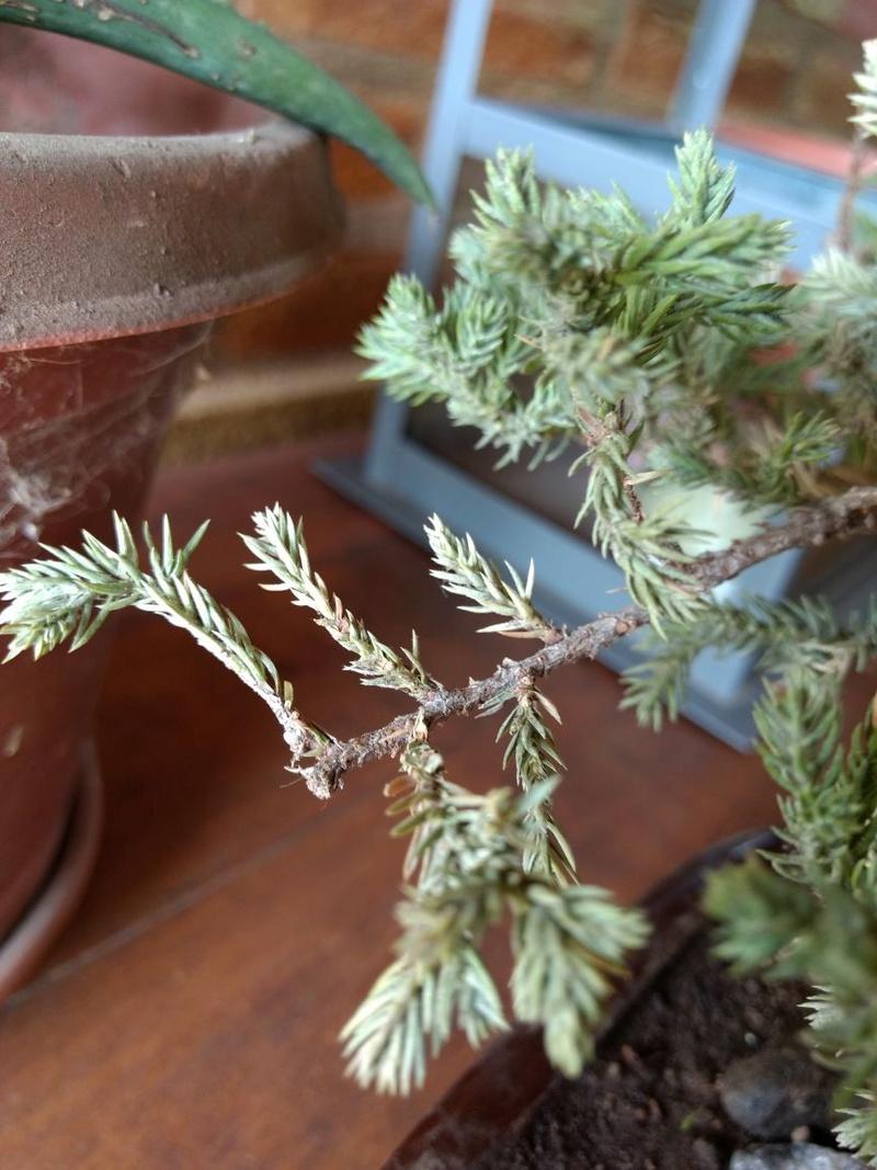 Problema Juniperus procumbens nana Img-2014