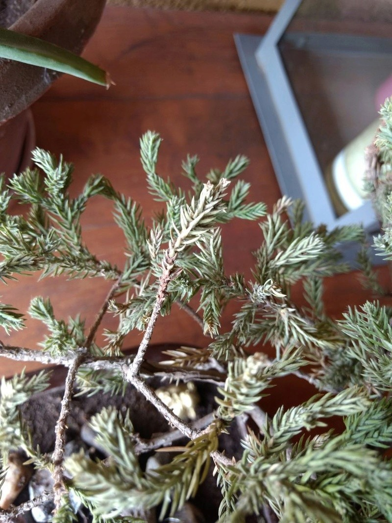 Problema Juniperus procumbens nana Img-2016