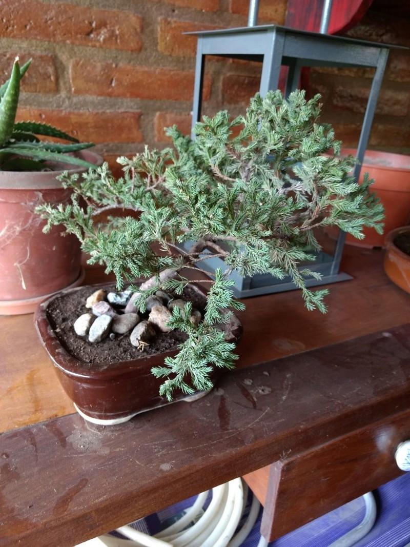 Problema Juniperus procumbens nana Img-2017