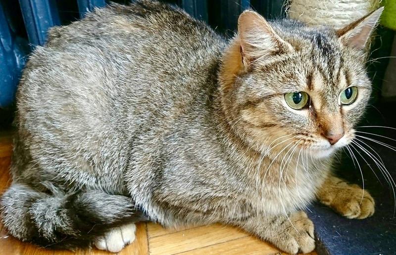 GRIOTTE, chat de maison tabby, 18 mois, femelle 677ed810