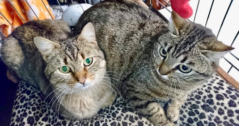 GRIOTTE, chat de maison tabby, 18 mois, femelle 6903a110