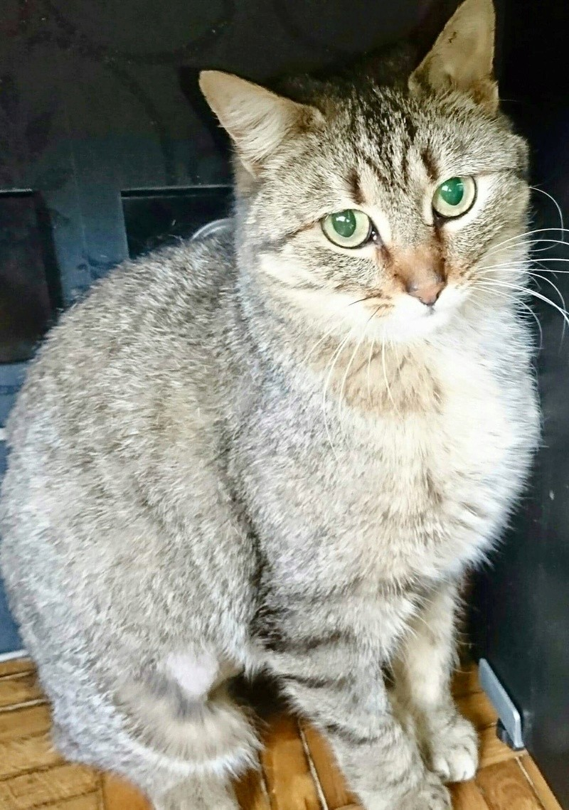 GRIOTTE, chat de maison tabby, 18 mois, femelle 70553a10
