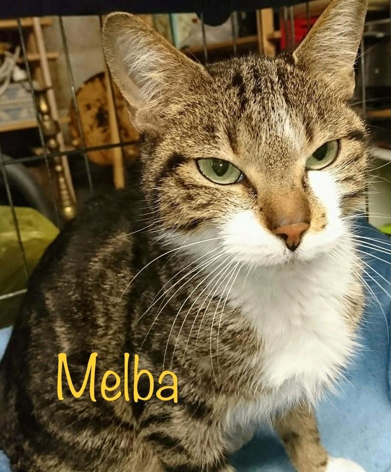 MELBA, européenne tigrée blanche, 1 an, femelle Img_7916