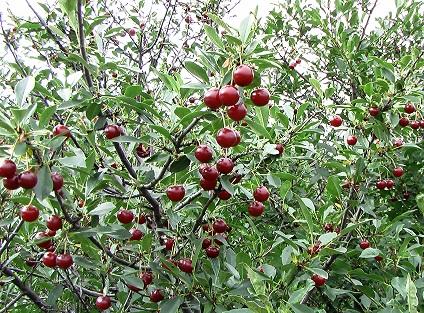 Cerisier dans la magie Cerisi10