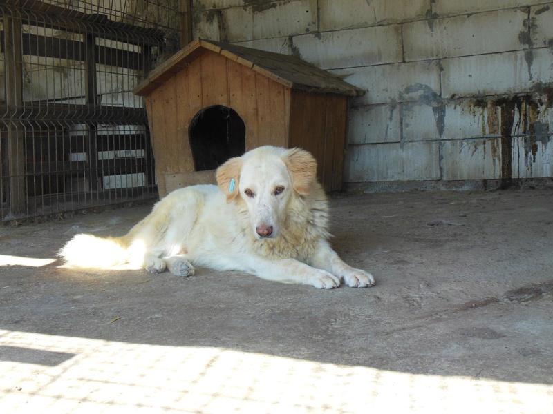BALANUCH, mâle croisé berger sauvé de Pallady, né en 2009 parrainé par Nathalie Gamblin-SC-R-SOS- 1271010