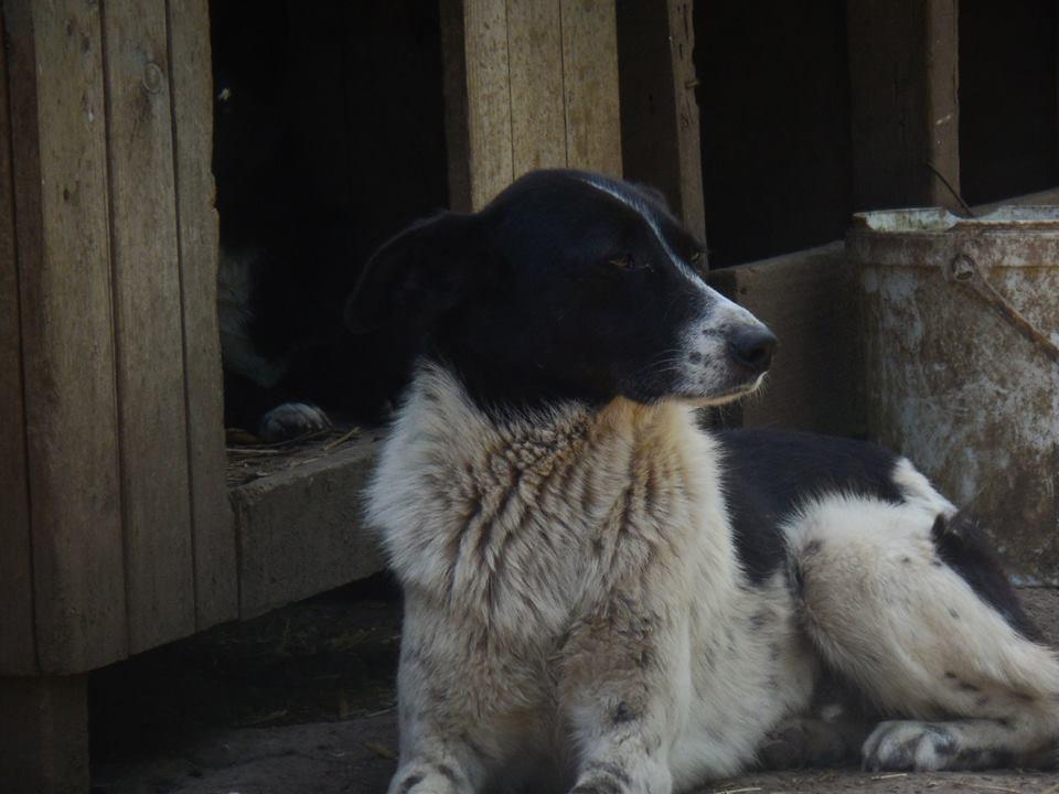 GAYA- femelle noire et blanche née en 2013- parrainée par Skara - SC-SOS-R- - Page 4 1e30ac10