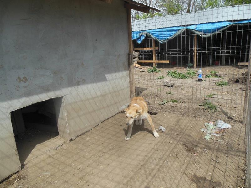 ANKO mâle, couleur crème, né en sept 2016 (chiot d'AKELA) - Famille trouvée par Lenuta dans un champ - parrainé par Mirko78 -R-SC-SOS 55fb4010