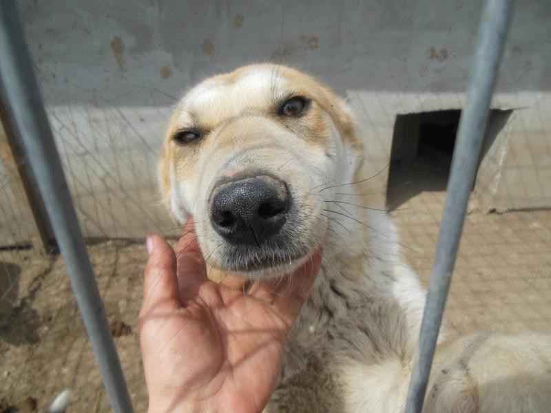 ANKO mâle, couleur crème, né en sept 2016 (chiot d'AKELA) - Famille trouvée par Lenuta dans un champ - parrainé par Mirko78 -R-SC-SOS 78af4a10