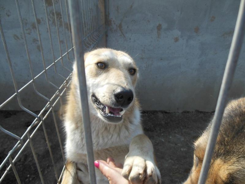 ANKO mâle, couleur crème, né en sept 2016 (chiot d'AKELA) - Famille trouvée par Lenuta dans un champ - parrainé par Mirko78 -R-SC-SOS F107af10