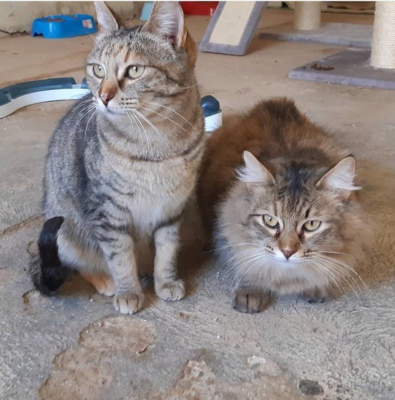 JARAMA et MANELI - Tigrées brun - En FA en Suisse 16b69f10