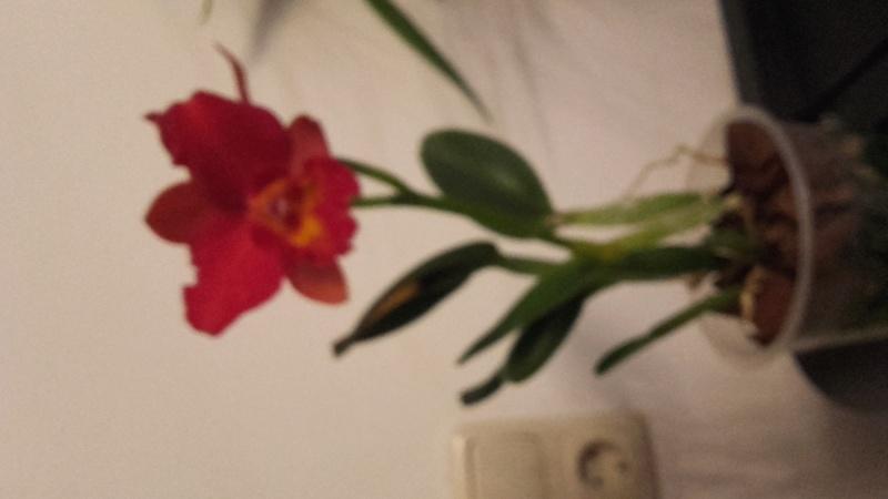 Ist diese Hübsche doch eine Gaskelliana? 20171112