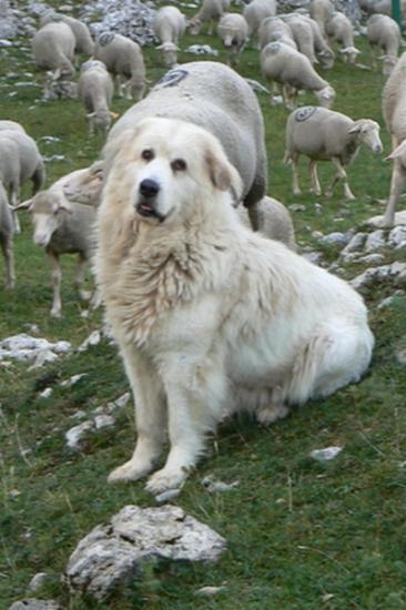 Les chèvres, Cachou, Crapouille, Mutine et les autres Pastou10