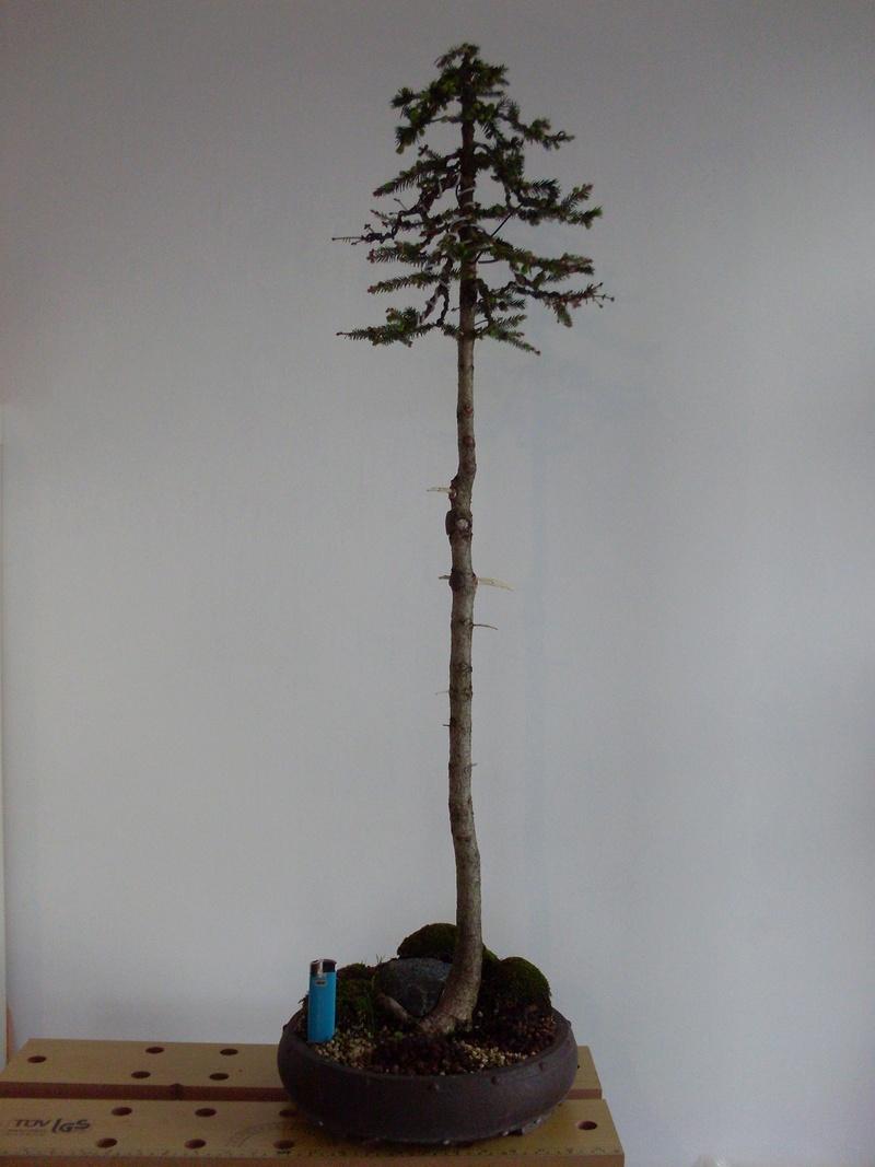 Bonsais - Seite 5 Picea_10
