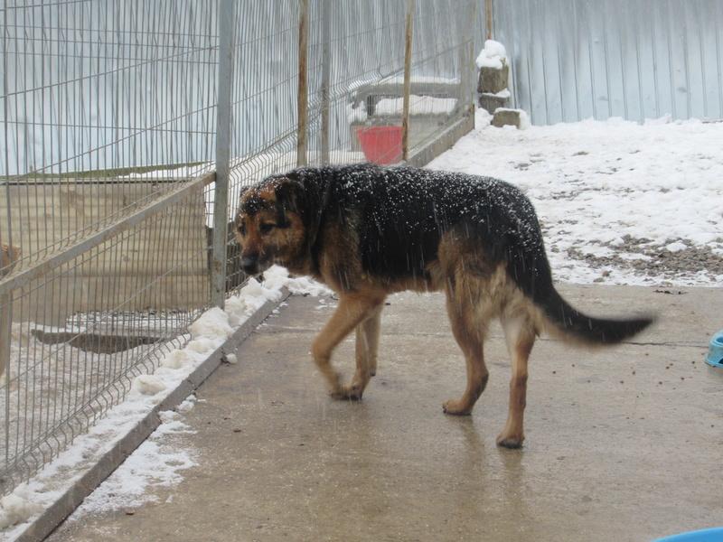 ENEE - mâle croisé Berger Allemand de taille grande, né environ août 2008 (PASCANI) - En FALD chez LiliDG (14) - Page 3 Enye_110