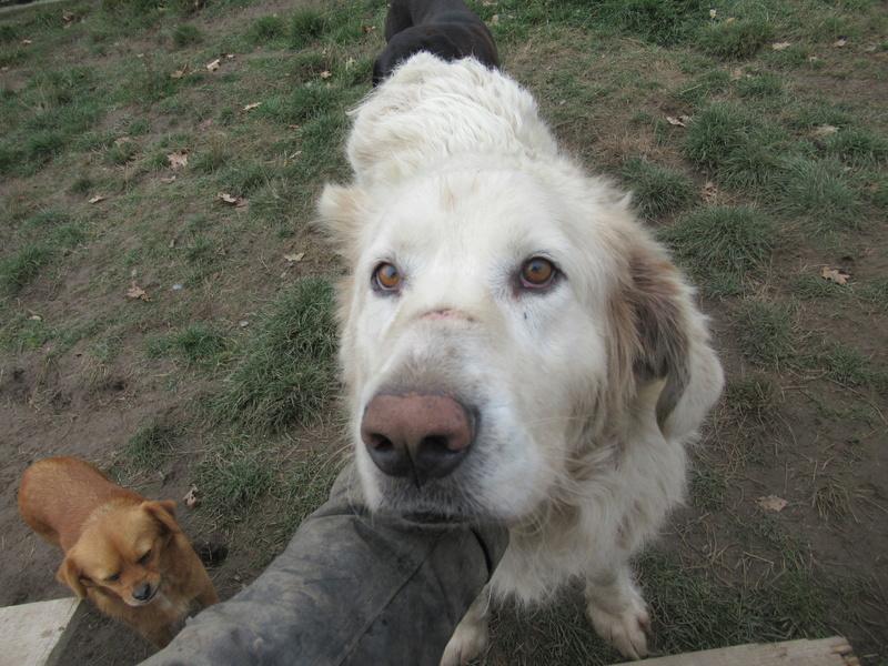 GOLIATH !! + de 3 ans de box !! mâle grande taille, né environ en octobre 2009, croisé montagne des Pyrénées (Cristesti) - REMEMBER ME LAND - En FALD chez Caroline (05) - DECEDE  - Page 4 Gollia12