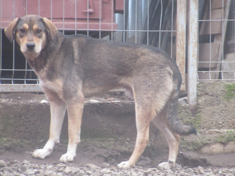 SIRTAKI - mâle croisé de grande taille, né en 2015 (PASCANI) - REMEMBER ME LAND Img_8711