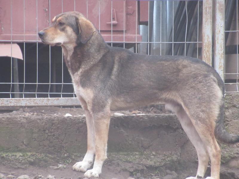SIRTAKI - mâle croisé de grande taille, né en 2015 (PASCANI) - REMEMBER ME LAND Img_8712