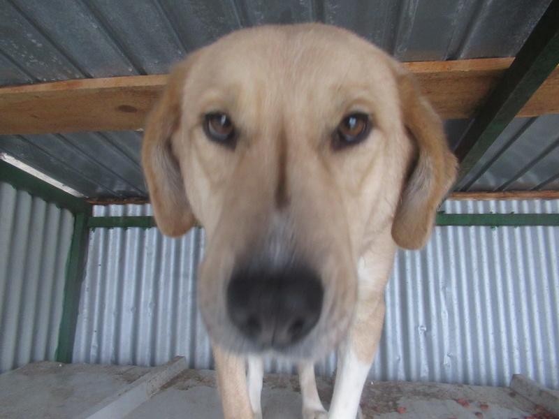 SHYVA - femelle croisée Labrador de taille moyenne à grande, née environ en février 2014 - (Pascani) adoptée par Aurélie (Belgique) - DECEDEE Shyva_10
