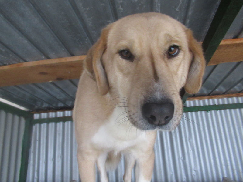 SHYVA - femelle croisée Labrador de taille moyenne à grande, née environ en février 2014 - (Pascani) adoptée par Aurélie (Belgique) - DECEDEE Shyva_12