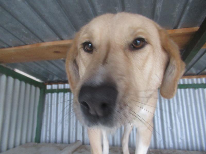 SHYVA - femelle croisée Labrador de taille moyenne à grande, née environ en février 2014 - (Pascani) adoptée par Aurélie (Belgique) - DECEDEE Shyva_13