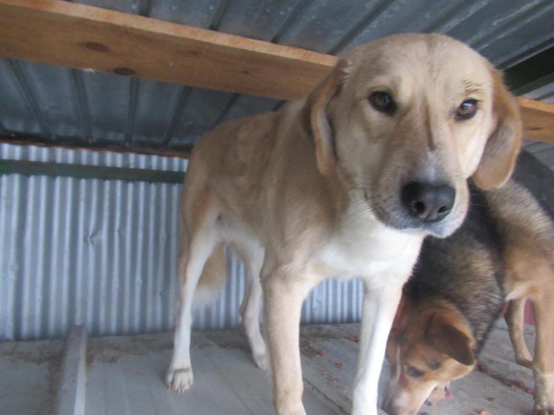 SHYVA - femelle croisée Labrador de taille moyenne à grande, née environ en février 2014 - (Pascani) adoptée par Aurélie (Belgique) - DECEDEE Shyva_14