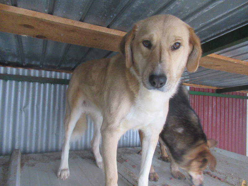 SHYVA - femelle croisée Labrador de taille moyenne à grande, née environ en février 2014 - (Pascani) adoptée par Aurélie (Belgique) - DECEDEE Shyva_15