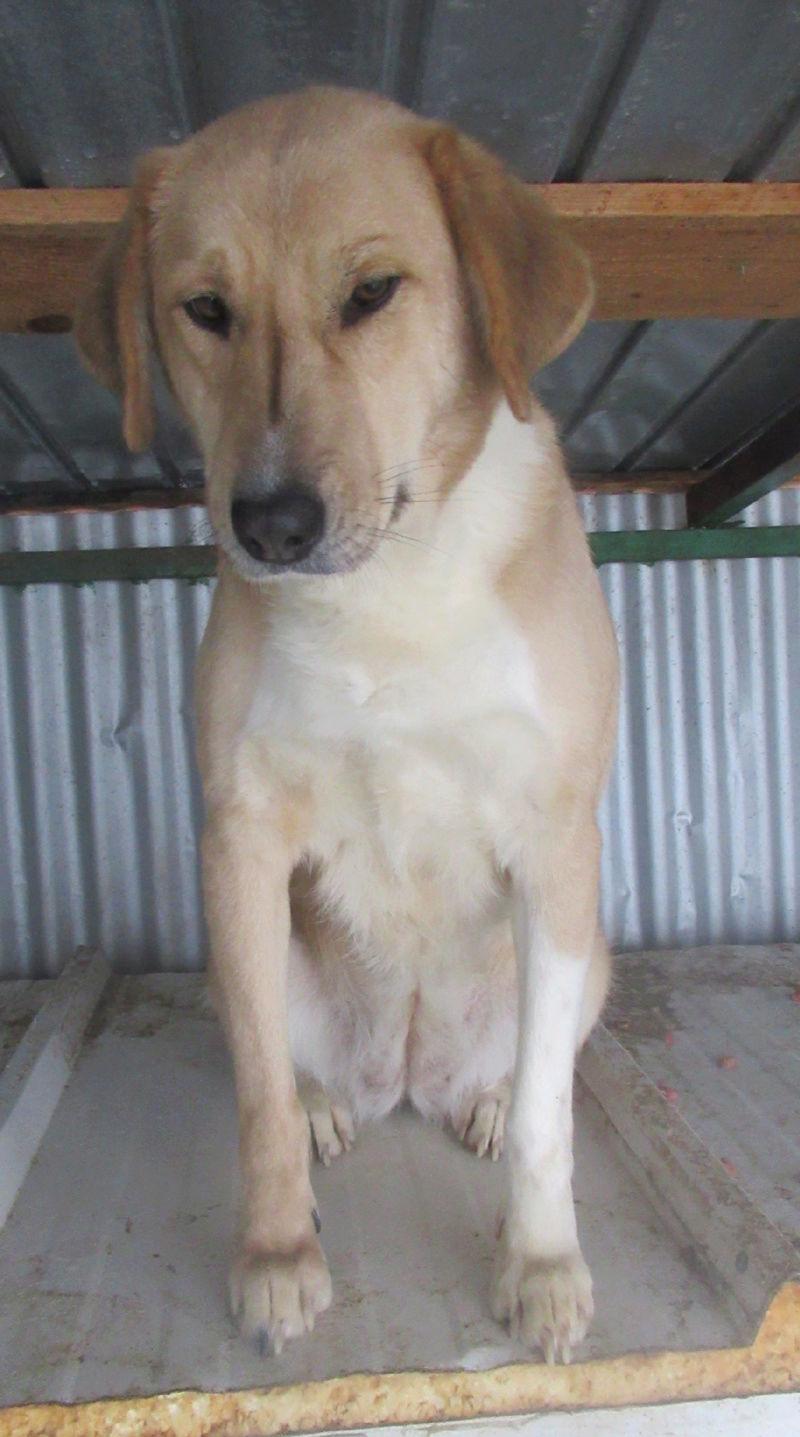 SHYVA - femelle croisée Labrador de taille moyenne à grande, née environ en février 2014 - (Pascani) adoptée par Aurélie (Belgique) - DECEDEE Shyvap10