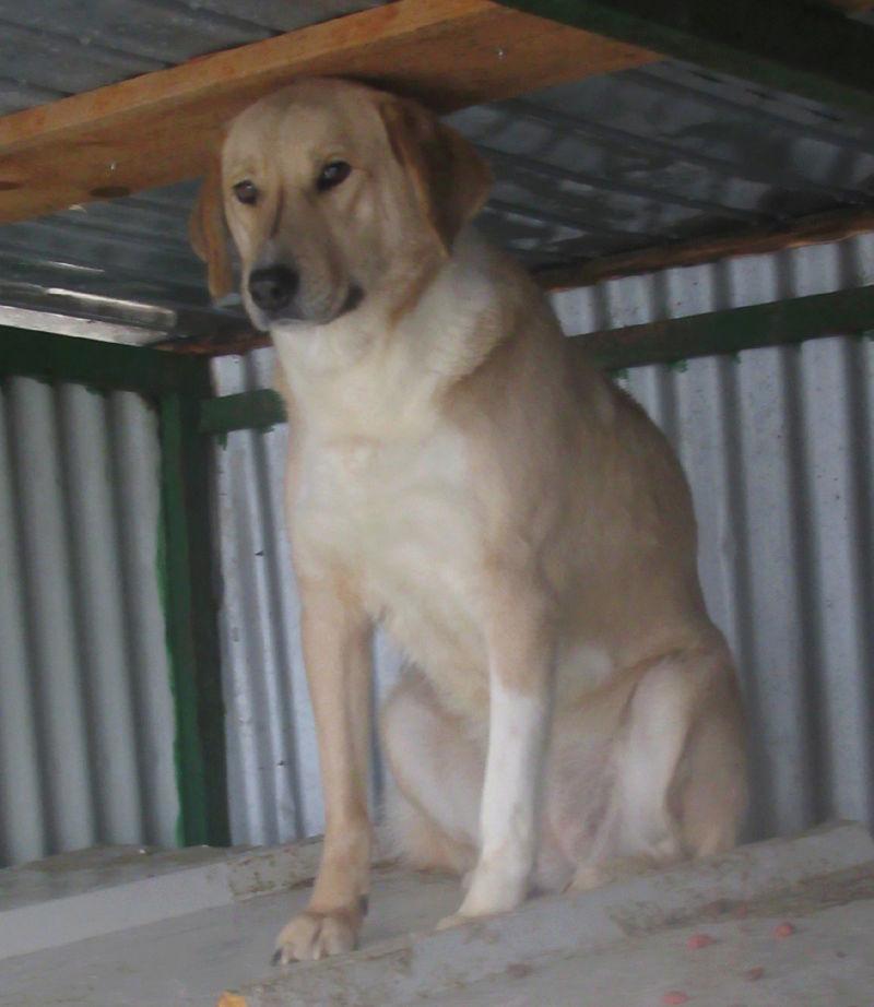 SHYVA - femelle croisée Labrador de taille moyenne à grande, née environ en février 2014 - (Pascani) adoptée par Aurélie (Belgique) - DECEDEE Shyvap12