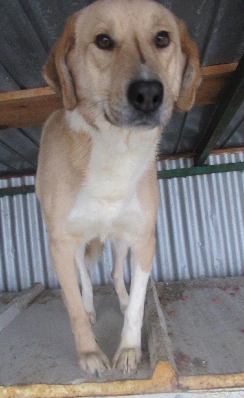 SHYVA - femelle croisée Labrador de taille moyenne à grande, née environ en février 2014 - (Pascani) adoptée par Aurélie (Belgique) - DECEDEE Shyvap13