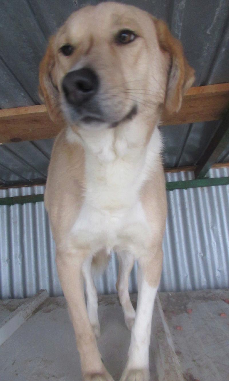 SHYVA - femelle croisée Labrador de taille moyenne à grande, née environ en février 2014 - (Pascani) adoptée par Aurélie (Belgique) - DECEDEE Shyvap14