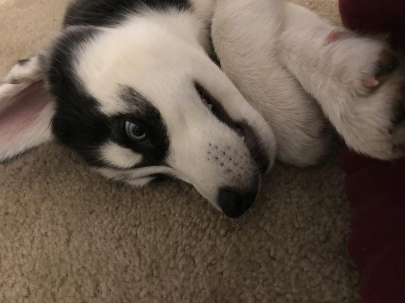 New husky owner!!! 1ec89310