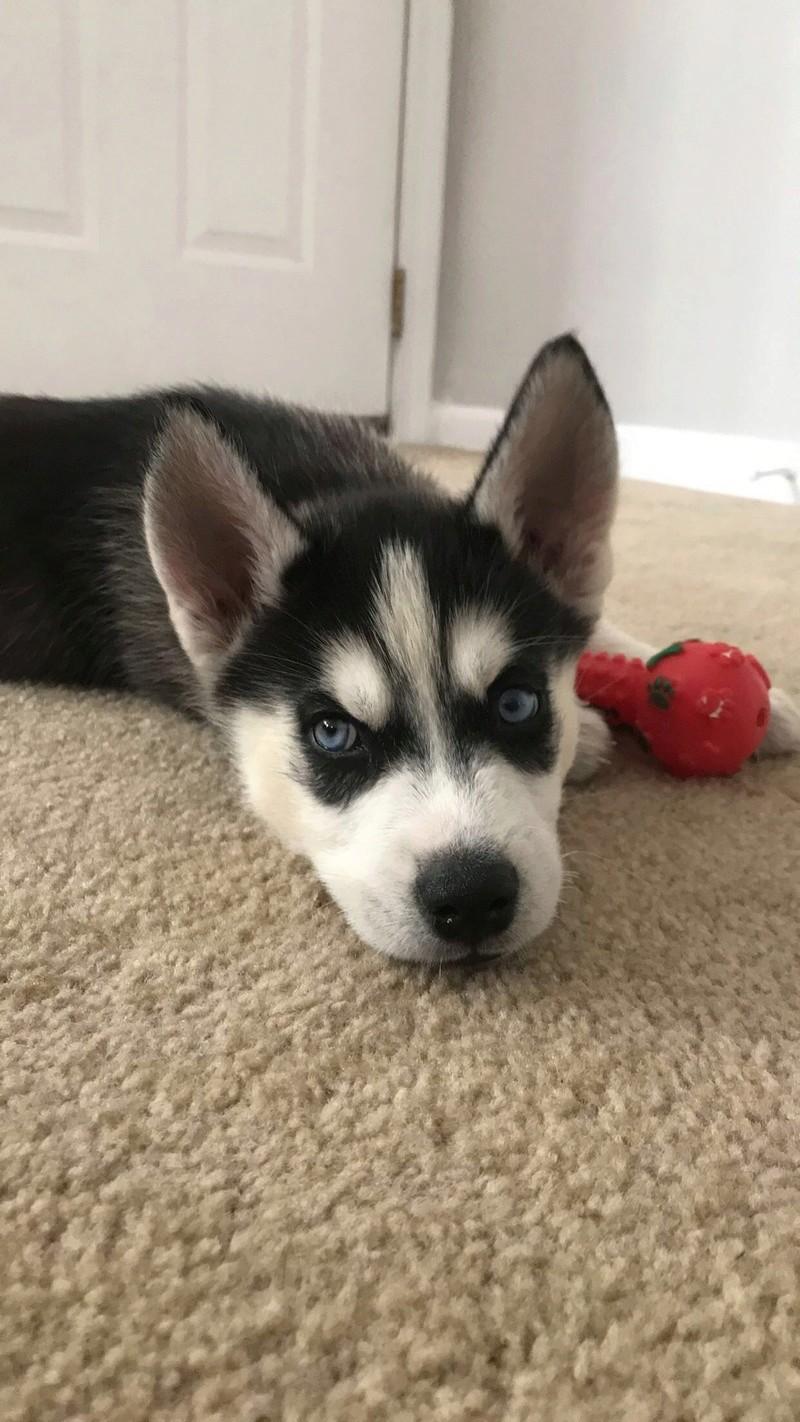 New husky owner!!! 37ebf110