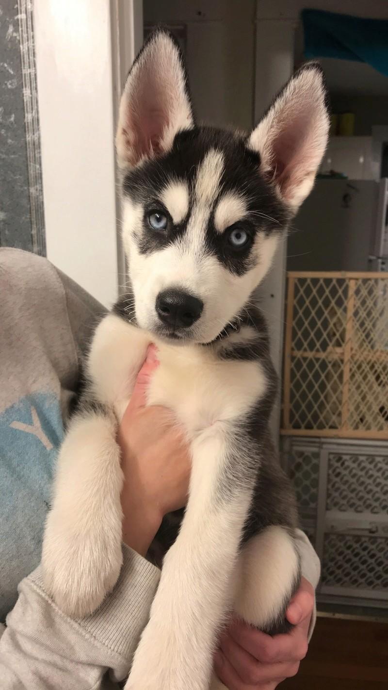New husky owner!!! 7e650610