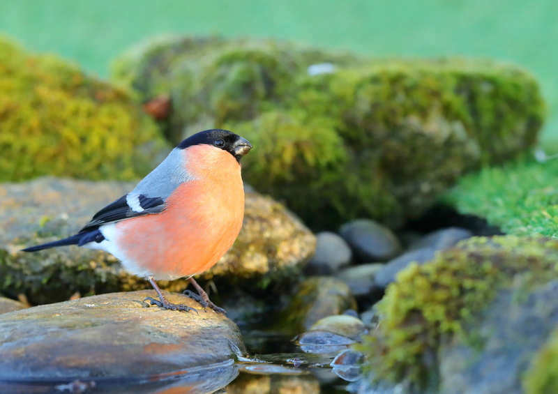 Les oiseaux de mon jardin ou des abords directs - Page 2 Aa_bou10