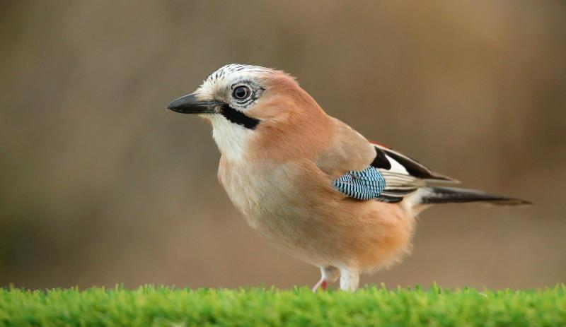 Les oiseaux de mon jardin ou des abords directs Aa_gea11