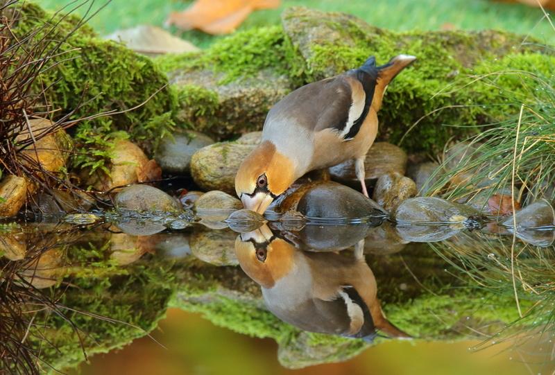 Les oiseaux de mon jardin ou des abords directs Aa_gro11